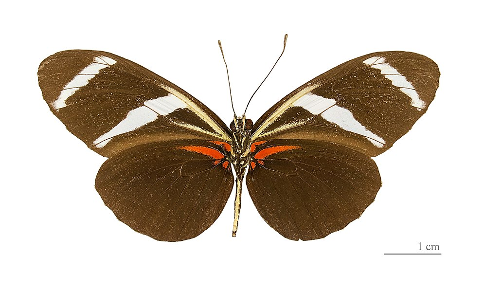 English:  Heliconius antiochus - △ Ventral side