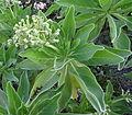 Heliotropium foertherianum 2 (14711489326).jpg