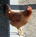 Hen on street.jpg
