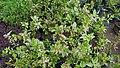 Herbiscus 01.jpg