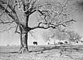 Hereford Cattle Grazing, Abercrombie Ranch, James Smither Ambercrombie (12820031494).jpg