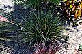 Hesperaloe parviflora003.JPG