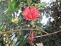 Hibiscus - ചെമ്പരത്തി - 030.JPG