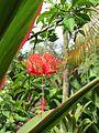 Hibiscus schizopetalus (7189115897).jpg