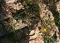Hieracium porrifolium.jpg