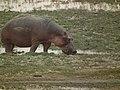 Hippopotamus amphibius in Tanzania 4040 Nevit.jpg
