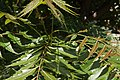 Hojas de árbol de neem.JPG