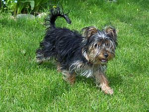 Yorkshire Terrier - Yorkshire Terrier with dark coat