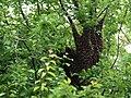 Honigbiene Apis mellifera Schwarm in Haferschlehe-OhWeh-001.jpg