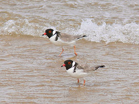 Pair of hooded plovers standing in shallow water