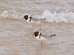 A pair of Hooded Plovers standing in shallow water