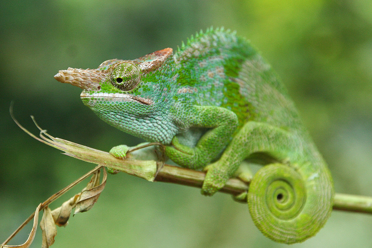 Chameleon dating