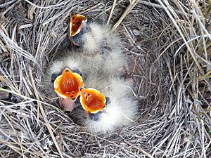 Horned lark - A nest with three chicks in the oil fields of Alberta, Canada