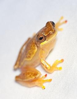 Salientia Order of amphibians