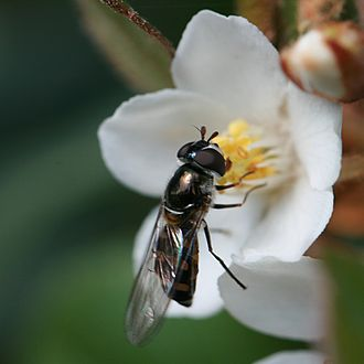 Melangyna viridiceps - Image: Hoverfly on flower in Sydney