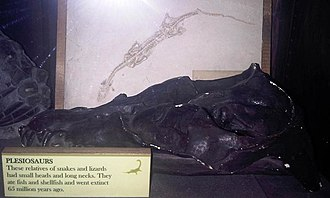 Anningasaura - Side view of a skull cast