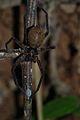 Huntsman Spider (Sparassidae) (8677429297).jpg