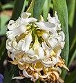 Hyacinthus orientalis 'White Pearl', Jardín Botánico de Múnich, Alemania, 2013-05-04, DD 02.jpg