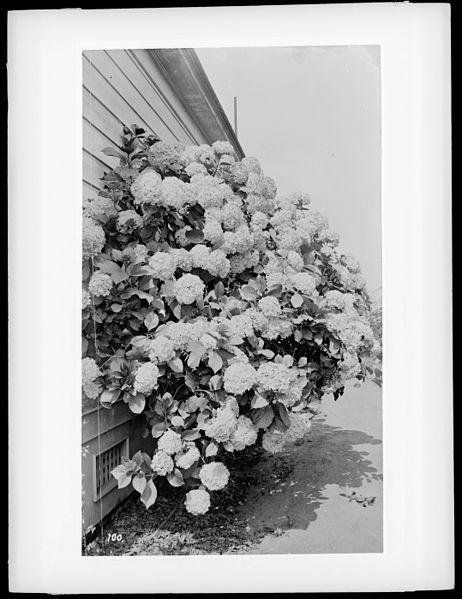 File:Hydrangea bush in full bloom on the exterior of a home, ca.1920 (CHS-100).jpg