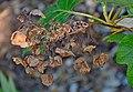 Hydrangea quercifolia 02.jpg