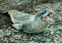 A black-speckled seal with light-gray underside and dark-gray back, sitting on rocks, its mouth agape showing sharp teeth