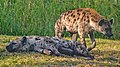 Hyenas (51252539999).jpg