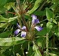 Hygrophila schulli (Kolshinda) in Narshapur, AP W2 IMG 0931.jpg