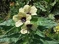Hyoscyamus niger sl33.jpg