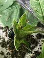 IMG 8073 Atropa belladonna L. Back of Calyxj.jpg