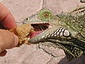 Iguana feeding - Aruba.jpg