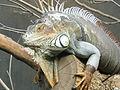 Iguana iguana, Zoo de Vincennes 12.JPG