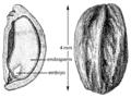 Ilex mucronata seed USDA-FS.png