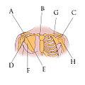 Illu pectoral girdles-2.jpg
