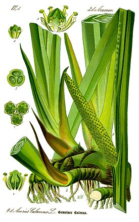 http://upload.wikimedia.org/wikipedia/commons/thumb/b/bf/Illustration_Acorus_calamus0_clean.jpg/275px-Illustration_Acorus_calamus0_clean.jpg