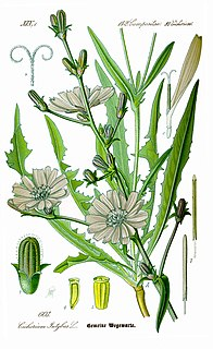 Chicory species of plant, chicory