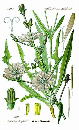 Illustration Cichorium intybus0 clean.jpg