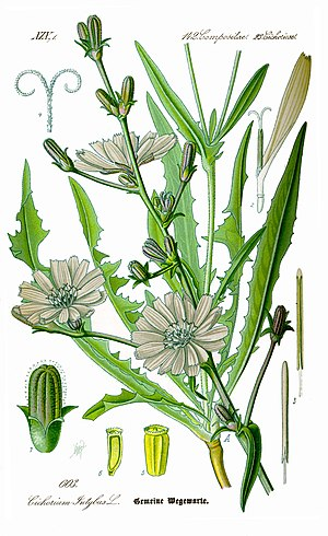 Chicory - Image: Illustration Cichorium intybus 0 clean