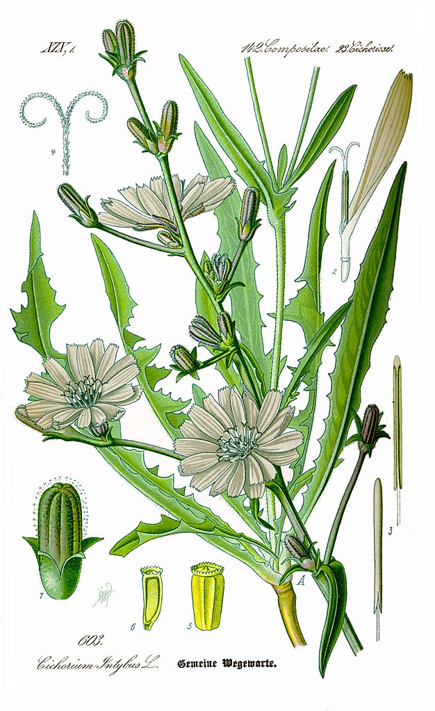 Čakanka obyčajná (Cichorium intybus)