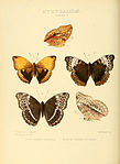 Illustrations of new species of exotic butterflies Harma V.jpg