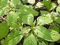 Impatiens parviflora2.jpg