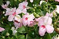 Impatiens walleriana Super Elfin Blush 0zz.jpg