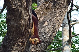 Indian Giant Squirrel or Malabar Giant Squirrel.jpg