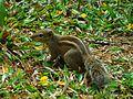 Indian Palm Squirrel Thiruvananthapuram.jpg