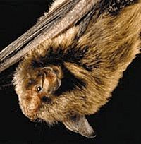 The image depicts an Indiana Bat