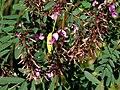 Indigofera australis-mature flowers.jpg
