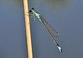 Ischnura elegans qtl14.jpg