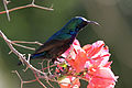 Israel. Palestine Sunbird (6497645723).jpg
