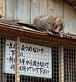 Iwatayama Monkey Park, Kyoto 3-25 (26396951252).jpg