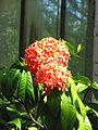 Ixora coccinea (inflorescence) 02.JPG