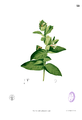 Ixora sp Blanco1.22.png
